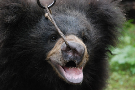 Bear Cub Saved from a Dancing Fate - India's Endangered