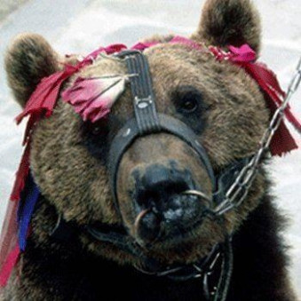 Victory! India Ends Bear Dancing! Nearly 400 bears rescued